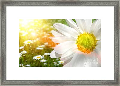 Large Daisy In A Sunlit Field Of Flowers Framed Print by Sandra Cunningham