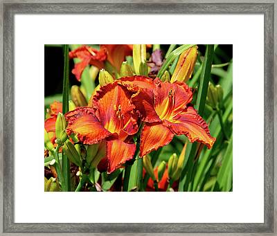 Large Deep Orange Tiger Lilys Framed Print