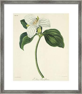 Large Flowered Trillium Framed Print by Margaret Roscoe