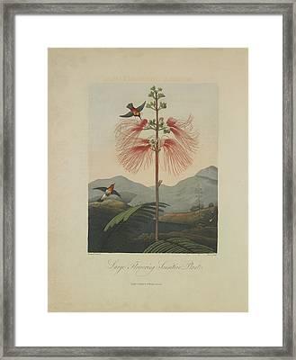 Large Flowering Sensitive Plant Framed Print by Robert John Thornton