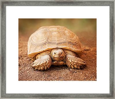 Large Galapagos Tortoise Looking Forward Framed Print