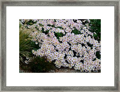 Large Group Of Daisies 3 Framed Print by Lanjee Chee
