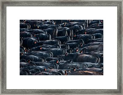 Large Herd Of Black Angus Cattle Framed Print by Todd Klassy