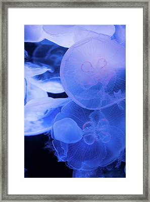 Large Jellyfish 2 Framed Print by Ariane Moshayedi