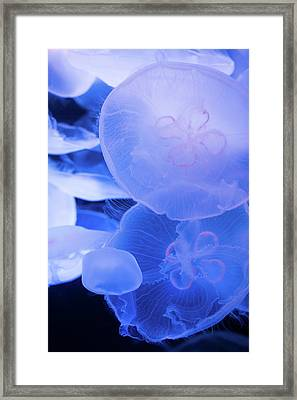 Large Jellyfish 3 Framed Print by Ariane Moshayedi