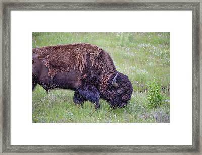 Large Majestic Bison Bull Browsing Through A Green Grassy Meadow Framed Print by Jerry Voss