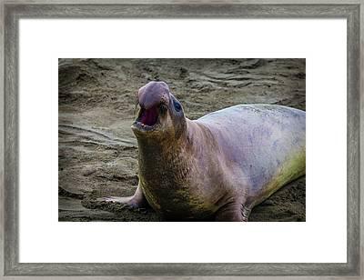 Large Male Elephant Seal Framed Print