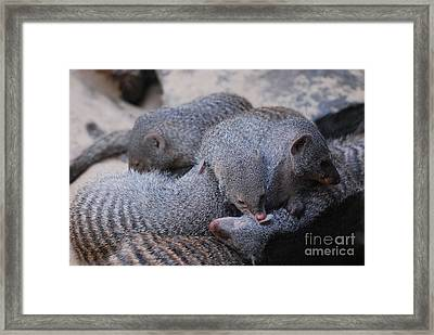 Large Pile Of Dwarf Mongooses With Stripes Framed Print