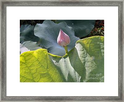 Large Pink Chinese Lotus Bud Framed Print by Kathy Daxon