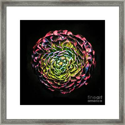 Large Pink Flower Against Black Background Framed Print by Amy Cicconi