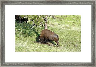 Large Plains Bison Bull Rubbing His Big Head In The Ground Framed Print