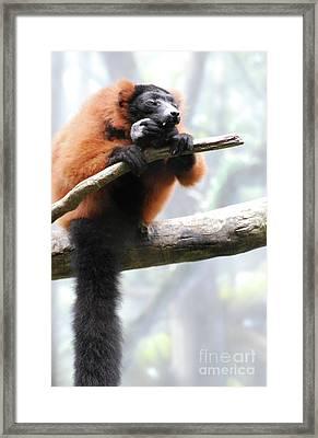 Large Red Ruffed Lemur Sitting On A Branch Framed Print by DejaVu Designs