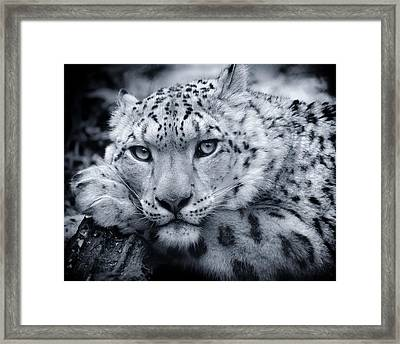 Large Snow Leopard Portrait Framed Print by Chris Boulton