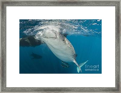 Large Whale Shark Siphoning Water Framed Print by Mathieu Meur