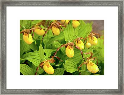 Large Yellow Lady's Slipper  Framed Print by Susan Cole Kelly