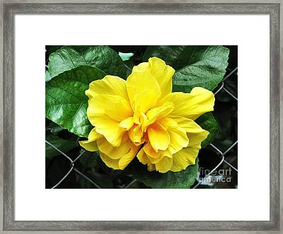 Large Yellow Tropical Flower Double Hibiscus Framed Print by Kathy Daxon