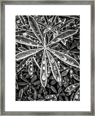 Lupine And Rain Framed Print by Diana Shay Diehl
