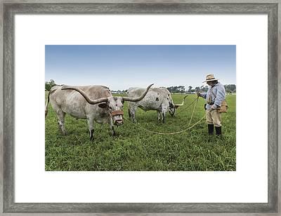 Larry Heidbreder And His Yoked Texan Longhorns Framed Print