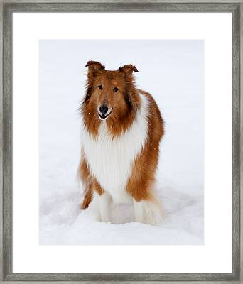 Lassie Enjoying The Snow Framed Print