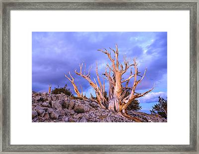 Last Light On The Bristlecones Framed Print by Joe Doherty
