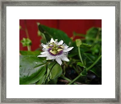 Last Lilikoi Flower Of The Season Framed Print by Heidi Fickinger