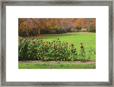 Last Of The Sunflowers Framed Print by Art Block Collections
