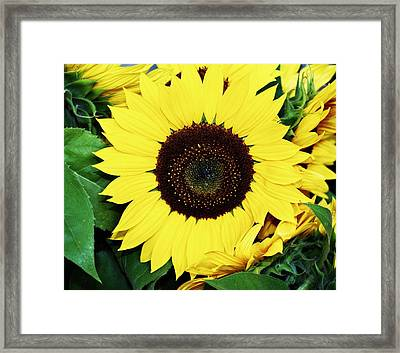 Last Of The Sunflowers Framed Print by Cathie Tyler
