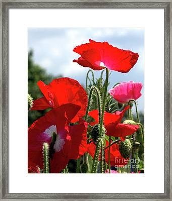 Framed Print featuring the photograph Last Poppies Of Summer by Baggieoldboy