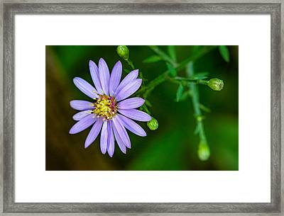 Late Purple Aster Framed Print by Steve Harrington