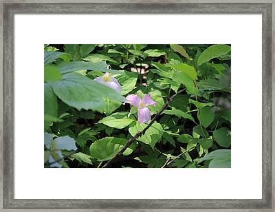 Framed Print featuring the photograph Late Season Trillium by Rick Morgan