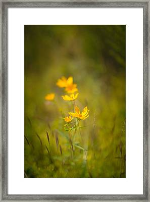 Late Summer Gold Framed Print by Shane Holsclaw