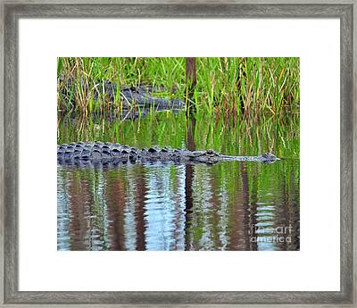 Framed Print featuring the photograph Later Gator by Al Powell Photography USA