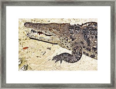 Laughing Alligator Framed Print