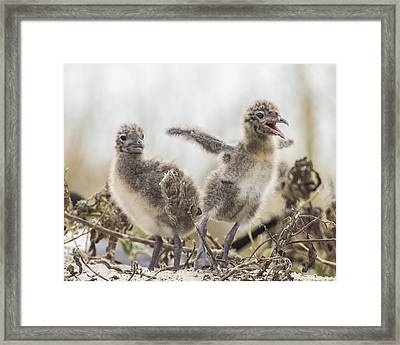 Framed Print featuring the photograph Laughing Gull Chicks by Paula Porterfield-Izzo
