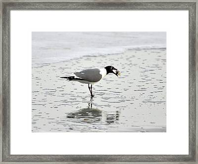 Laughing Gull Meal Framed Print by Al Powell Photography USA
