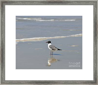Laughing Gull Reflecting Framed Print by Al Powell Photography USA
