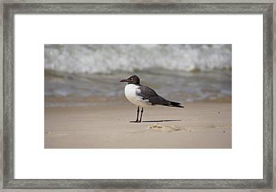 Laughing Gull Framed Print by Sandy Keeton
