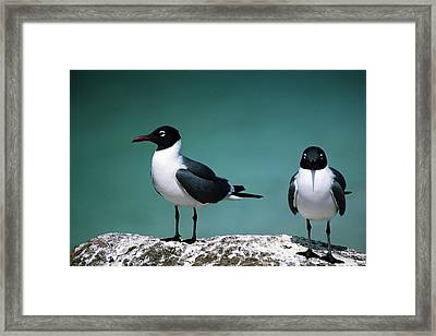 Laughing Gulls Framed Print by Sally Weigand
