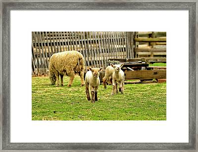 Laughing Lamb Framed Print by Geraldine Scull