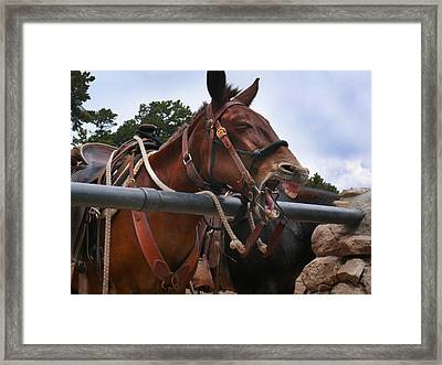 Laughing Mule Framed Print by Jeanne  Woods