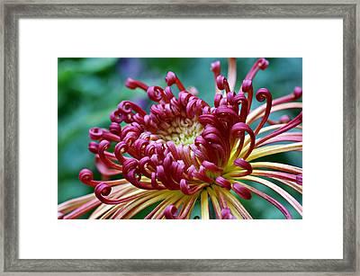 Lava Chrysanthemum Framed Print by Nikolyn McDonald