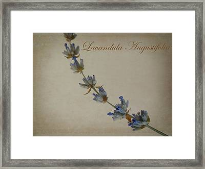 Lavandula Angustifolia Framed Print by Julia Wilcox