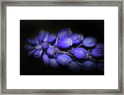 Lavendar Blue Framed Print by Kim Henderson
