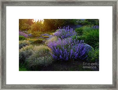 Lavendar Garden Framed Print by Georgia Sheron