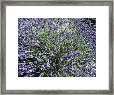 Lavender 2 Framed Print by Valerie Josi