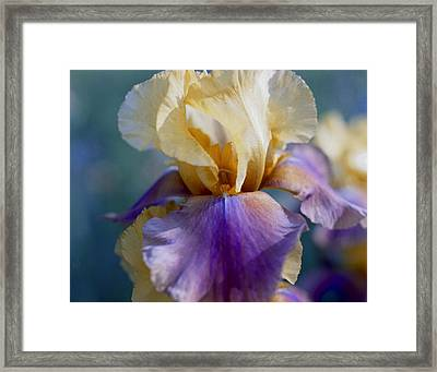 Lavender And Gold Iris Framed Print by George Ferrell