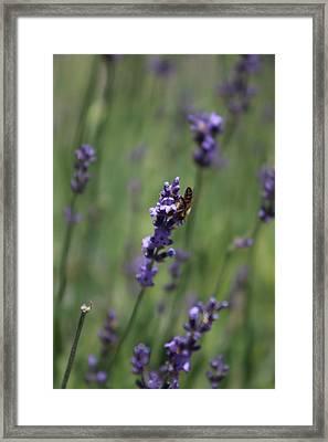 Lavender And Honey Bee Framed Print