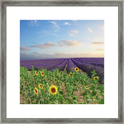 Lavender And Sunflower Flowers Field Framed Print