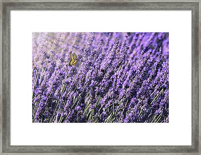 Framed Print featuring the photograph Lavender And Tiger Swallowtail In The Morning Light by Diane Schuster