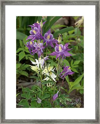 Lavender And White Columbine Framed Print